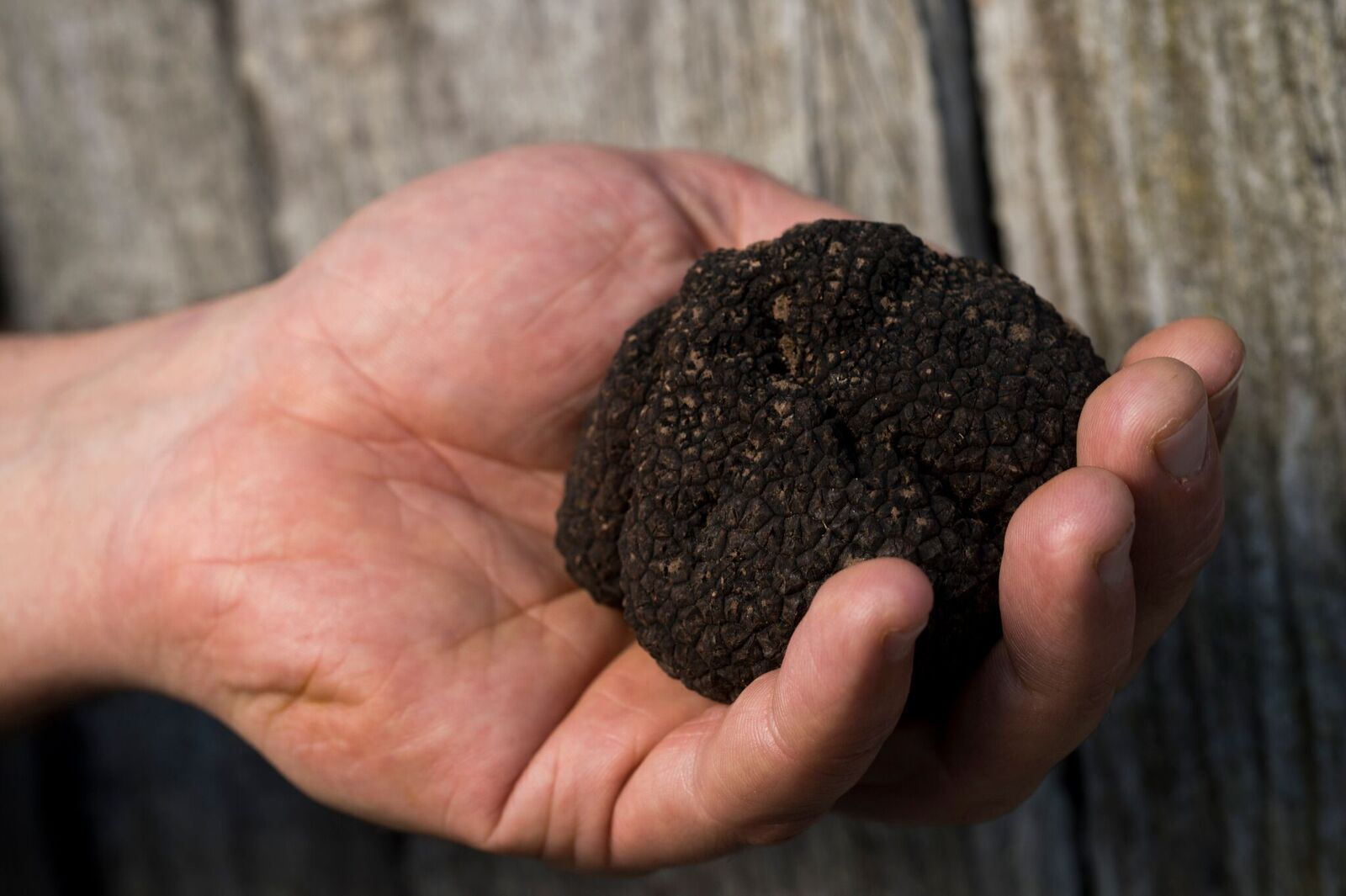 A whole black winter truffle in the palm of a man's hand.